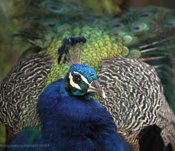 Peacock – Photography