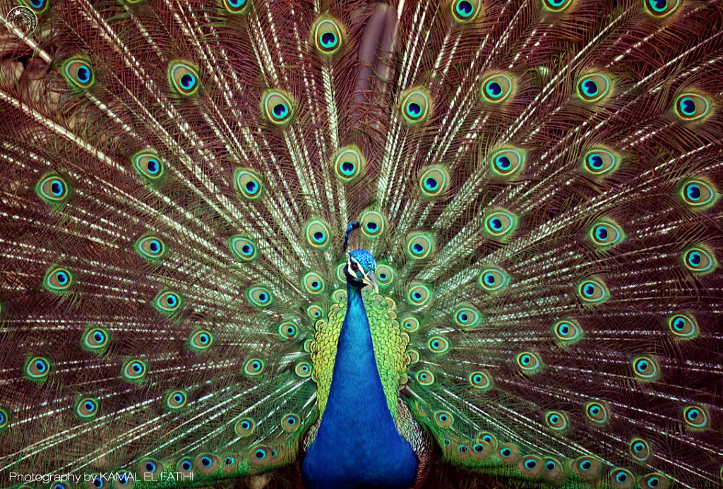 Peacock open photography – 2014
